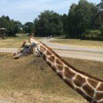 Giraffe am Busfenster